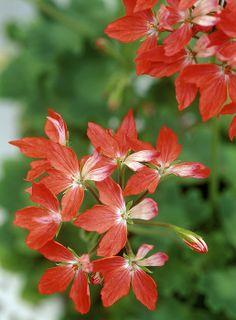 Pelargonium - Fireworks Perennial (Geranium)