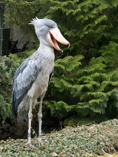 Sushi the Shoebill Stork - Google Search