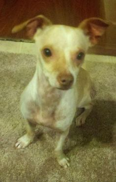 8/9/16 SL 7/18/16 Daisy/Italian Greyhound Mix & Chihuahua • Young • Female • Small Mini Mighty Mutts Rescue Phoenix, AZ