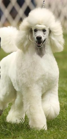 standard poodles | standard #poodle puppies in black or white