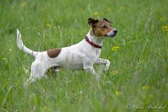 Jack russell terrier - wikipedia, the free encyclopedia, Following world war ii, the requirement for hunting dogs drastically declined, and with it the numbers of jack russell terriers. Description from dogbreedspicture.net. I searched for this on bing.com/images