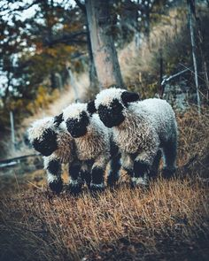 These little fellows are so fluffy_marcelsiebert Farm Animals, Animals And Pets, Valais Blacknose Sheep, Black Faced Sheep, Cute Sheep, Baby Goats, Mundo Animal, Cute Little Animals, Adorable Animals