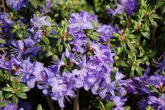Thank you for taking a look at one of our several hundred Hybrid Rhododendrons we have for sale on Etsy and our website! At RhododendronsDirect.com, all we do is Rhododendrons!     Product Description      Bloom Color: Purple    Bloom Season:  Early Mid Season    Plant Height(potential in 10 years): Three Feet    Hardy to:  -10        Container Size/Age:  Two Gallon Plant -  These rhododendrons are typically rooting into a two gallon container or have spent one year as a field grown plant…