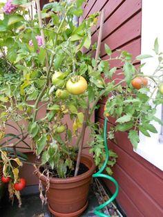 Tomaten kweken op je balkon #smulbalkon via @Koken met Karin