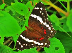 anartia fatima butterfly