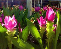 La bella flor del jengibre: El jengibre australiano