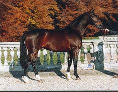 Hickstead (1996/2011 KWPN brown stallion) Died of a heart attack whilst competing. Hamlet {Nimmerdor x Dirbalia by Notaris} x Jomara {Ekstein x Fomara by Ulft}