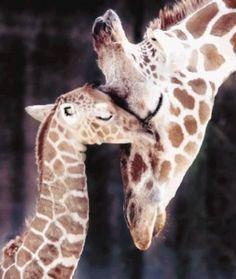 Giraffe babies love their mommies ~ and the mommies love their babies!