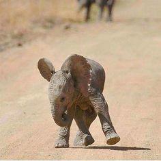 Baby elephant learning to walk. Vida Animal, Mundo Animal, Cute Baby Animals, Animals And Pets, Funny Animals, Wild Animals, Beautiful Creatures, Animals Beautiful, Wow Photo