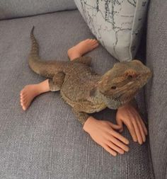 This lizard with human extremities Cute Little Animals, Cute Funny Animals, Funny Cute, Cute Reptiles, Reptiles And Amphibians, Animal Pictures, Funny Pictures, Funny Pics, Bearded Dragon Funny