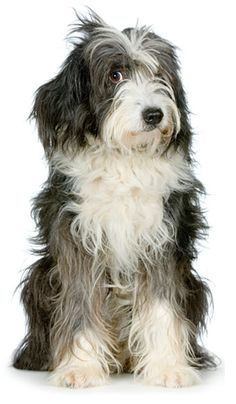 Dog Breed DNA Testing Features Tibetan Terrier Puppy Dogs Puppies Dog