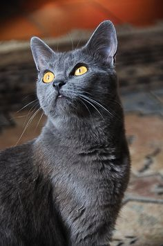If you are looking for a truly unique and beautiful kitten you don't have to look much further than the Russian Blue breed. Delightful Discover The Russian Blue Cats Ideas. Korat Cat, Chartreux Cat, Blue Cats, Grey Cats, I Love Cats, Cool Cats, Photo Chat, Russian Blue, Mundo Animal