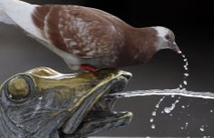 A pigeon drinks water from a fountain in Cannes, France, May 13, 2014. REUTERS/Eric Gaillard