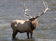 Bull elk Elk Pictures, Hunting Pictures, Big Game Hunting, Elk Hunting, Whitetail Deer Pictures, Big Deer, Bull Elk, Deer Family, English Bull Terriers