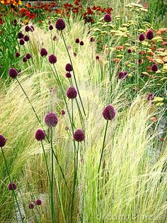 Grasses, allium, yarrow