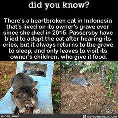 There's a heartbroken cat in Indonesia that's lived on its owner's grave ever since she died in Passersby have tried to adopt the cat after hearing its cries, but it always returns to the grave to sleep, and only leaves to visit its owner's. Wtf Fun Facts, Cat Facts, Random Facts, Random Things, Strange Facts, Random Stuff, Animals And Pets, Funny Animals, Cute Animals
