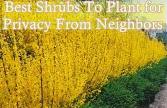 Here is a great list of the best shrubs to plant for privacy from neighbors with an added bonus of being low-maintenance and high impact long lasting color plant that provides a dense foliage living wall. Even a living growing line of shrubs can act like a fence…. good fences make good neighbors. Shrubs grow …