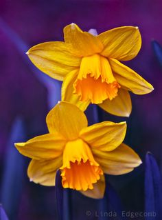 Yellow Daffodil; by Linda Edgecomb