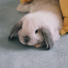 For those who are searching for a family pet that is not just adorable but easy to keep then look no further than a pet bunny. Mini Lop Bunnies, Holland Lop Bunnies, Funny Bunnies, Baby Bunnies, Bunny Bunny, Bunny Rabbits, Rabbit Life, Pet Rabbit, Dwarf Rabbit