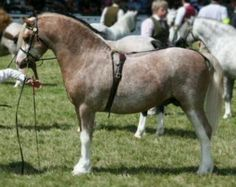 Welsh Mountain Pony, Section A