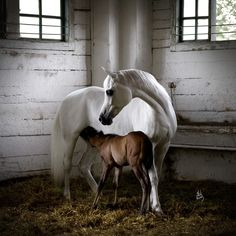Beautiful Arabian mare with her colt.
