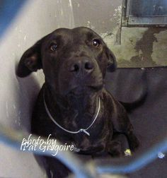 9/3/2015 STILL THERE!!! #A4867615 My name is Maddie. I am a very friendly 1 yr old female br brindle pit bull/labrador retriever mix. I came to the shelter as a stray on August 17. available 8/22/15. very mellow; very sweet NOTE: Pit bulls are not kept as long as others so those dogs are always urgent!! Baldwin Park shelter https://www.facebook.com/photo.php?fbid=1018249421520228&set=a.705235432821630&type=3&theater