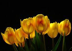 Laleler Çiçekler duvar kağıtları   Laleler görüntüleri   Lale Resimleri   PIXHOME