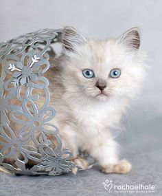 Biscott (Ragdoll x Tiffany) - A fluffy little Biscott ventures out of her flower pot.