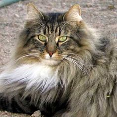 Norwegian Forest Cat. This kitty looks a lot like Mrs. Norris.