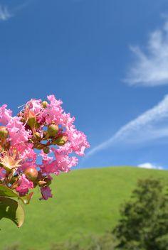 【夏】青空のもと大室山の緑とサルスベリ の花が爽やかです。