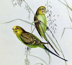 Warbling Grass-Parakeet - John Gould's Birds of Australia