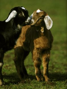 "Goat Milk vs Cow Milk ""Goat milk has lower amounts and in some cases no amounts of the alpha-s1-casein protein that causes so many problems with digestibility."""