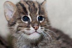Fishing Cat baby