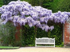 wisteria... wish our wisteria bloomed like this, but suprised that it at least puts out massive amounts of foliage, considering it watering source.