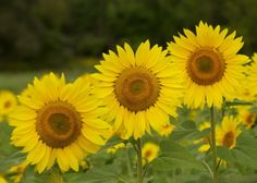 Life Lessons from a Sunflower | Beekman1802.com