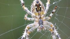 Charlotte's Web Book Activity- youtube video of Spider Web Construction in Slow Motion