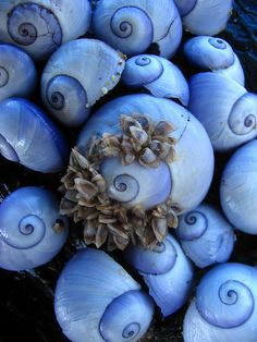 purple sea snails (darker purple underneath)  Omnia, Australia