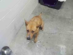 03/31/17-ROSENBERG, TX - EXTREMELY URGENT - This DOG - ID#A010398    I am a female, brown German Shepherd Dog mix.    The shelter staff think I am about 3 years old.    I have been in shelter care since Mar 04, 2017.    This information was refreshed 8 minutes ago and may not represent all of the animals at the Fort Bend County Animal Services Shelter.