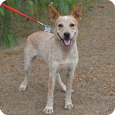 Palo Alto, CA - Australian Cattle Dog Mix. Meet Journey, a dog for adoption. http://www.adoptapet.com/pet/13311126-palo-alto-california-australian-cattle-dog-mix