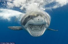 Coming right at ya! Andy's knowledge of shark behaviour enables him to capture images in s...