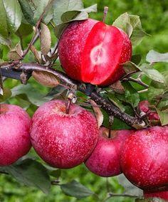 Rotfleischiger Apfel   Besonderheiten   Bakker