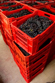 #Ciliegiolo grapes from #Liguria ready to be crushed