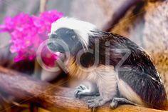 Qdiz Stock Photos | Monkey titi cotton-top tamarin,  #animal #ape #cotton #cotton-top #cute #jocko #life #macaque #mammal #marmoset #monkey #monkeyish #nature #primate #simian #tamarin #titi #top #tree #wild #wildlife #zoo