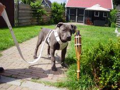 Name: Terra (female)*Breed: Pitbull*Owner: Iwan & Jo*www.Staffs-Exclusives.com