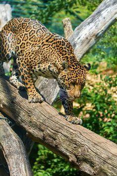 Big Cats Small Wild Cats, Big Cats, Cute Cats, Jaguar Leopard, Jaguar Animal, Big Cat Species, Animals And Pets, Cute Animals, Wild Animals Photography
