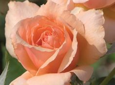 The Apricot Candy™ Rose | Star Roses & Plants