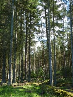 Pine Forrest. Beecraigs Country Park