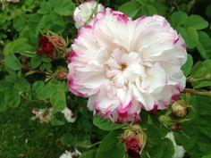 Rosa LEDA http://www.filroses.com/DetaliiProdus/374/rose//leda.html by FilRoses.com