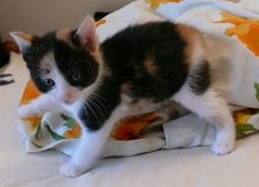 Tricolor Kittens, Cats, Animals, Gatos, Animais, Kitty Cats, Animales, Animaux, Baby Cats