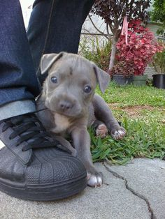 Blue pitbull puppy!!! Special little puppy!!